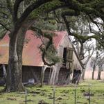 Leaning barn under a live oak, at the edge of Bell City, Louisiana, Route 14 (BH 125)